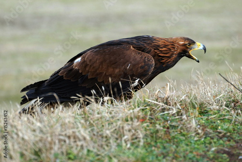 Photo  eagle on grass