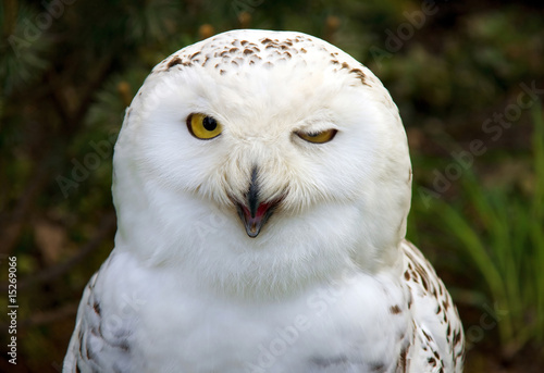 snow owl winking Wallpaper Mural