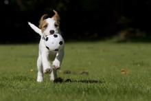 Parson Jack Russell Russel Terrier Welpe