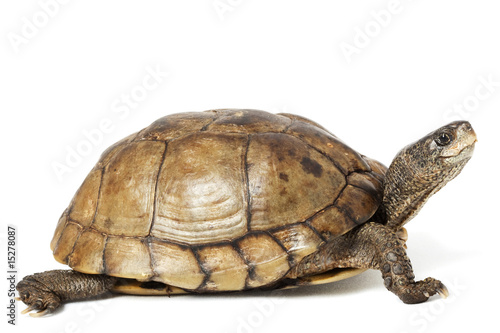 Photo sur Toile Tortue Coahuilan Box Turtle