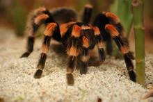 Mexican Red Kneed Tarantula - ...