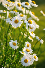Shasta Daisy Flowers Under Sof...