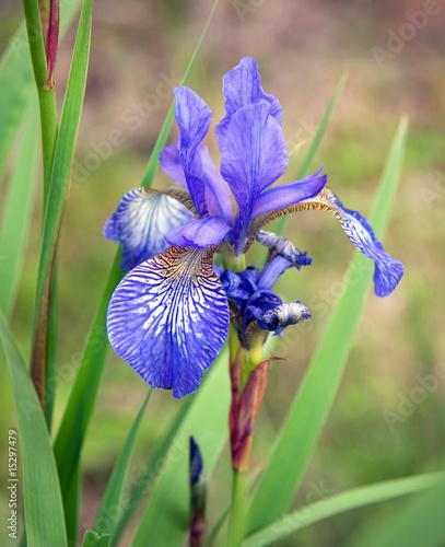 Spoed Foto op Canvas Iris Siberian Iris