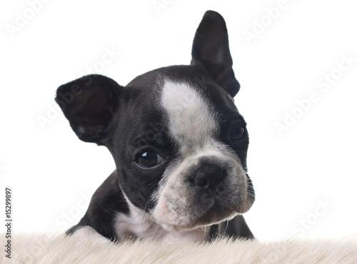 Spoed Fotobehang Franse bulldog Boston terrier puppy