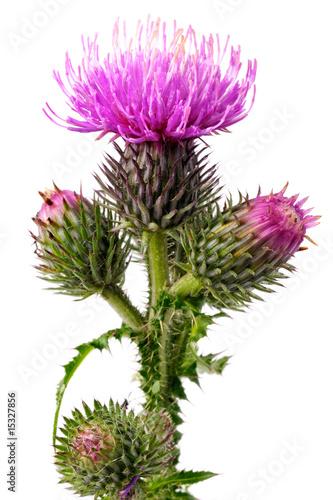 Billede på lærred Burdock flowers