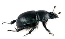 Scarab Dung Beetle