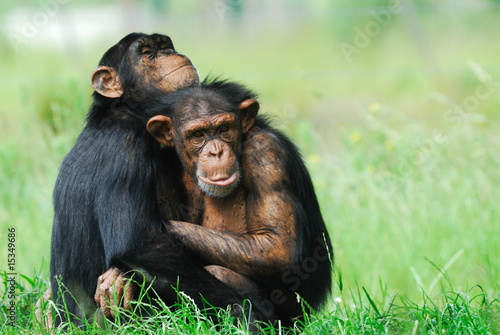 Fototapeta two cute chimpanzees