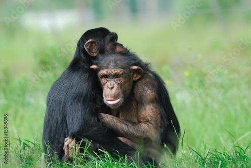 Foto op Aluminium Aap two cute chimpanzees