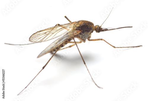 Anopheles mosquito - dangerous vehicle of infection - isolated Wallpaper Mural