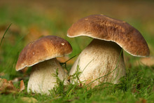 Two Brown Mushrooms In The Grass