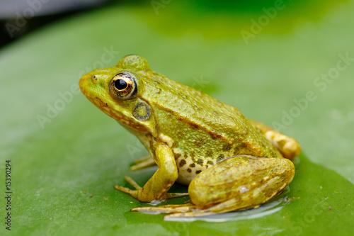 Foto op Plexiglas Kikker grenouille verte
