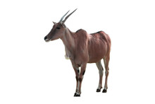 Antilope Eland Solo