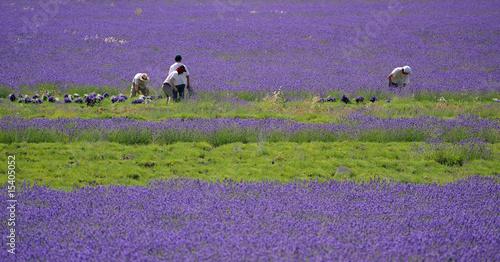 Tuinposter Lavendel coupe de la lavande