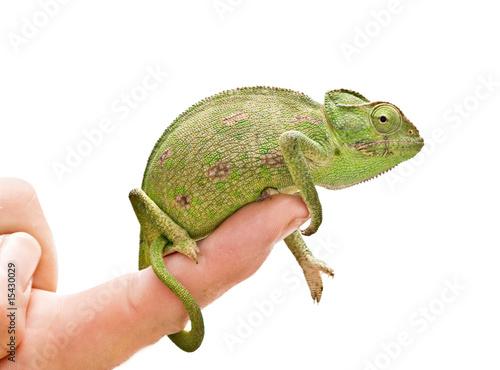 Staande foto Kameleon Chameleon sitting on a finger