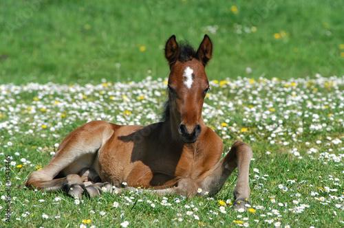Fotografie, Obraz  Fohlen, Pferd, Wiese