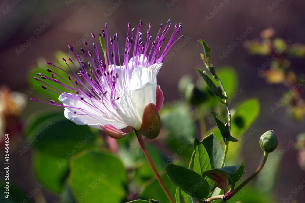 Fototapety, obrazy: fiore del cappero