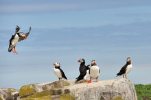 Puffin Landng On Rock - Farne ...