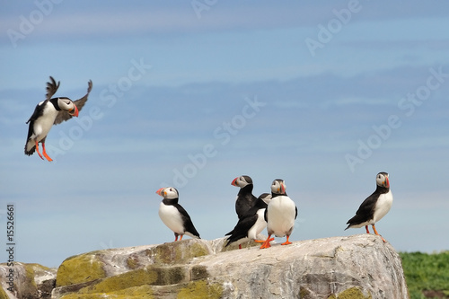 Cuadros en Lienzo  Puffin landng on rock - Farne Islands (North East England)
