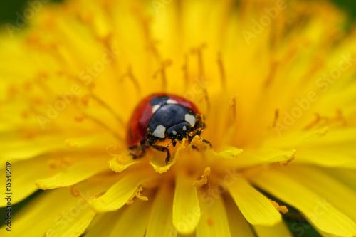 ladybug on dandelion - 15540419
