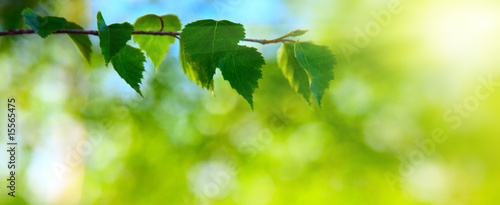 leaves of birch in deep forest #15565475