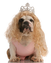 Bulldog Dressed Up As Princess...