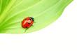 canvas print picture ladybug on leaf