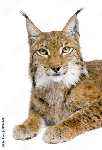 Poster Lynx Eurasian Lynx - Lynx lynx (5 years old)