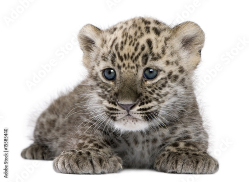 Photo sur Aluminium Leopard Persian leopard Cub (6 weeks)
