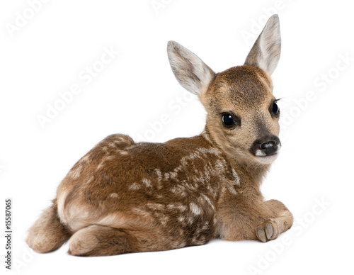 In de dag Ree roe deer Fawn - Capreolus capreolus (15 days old)