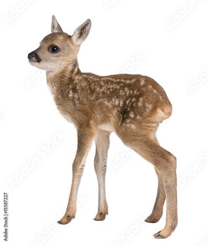 Spoed Fotobehang Ree roe deer Fawn - Capreolus capreolus (15 days old)