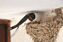 Swallow And Nest