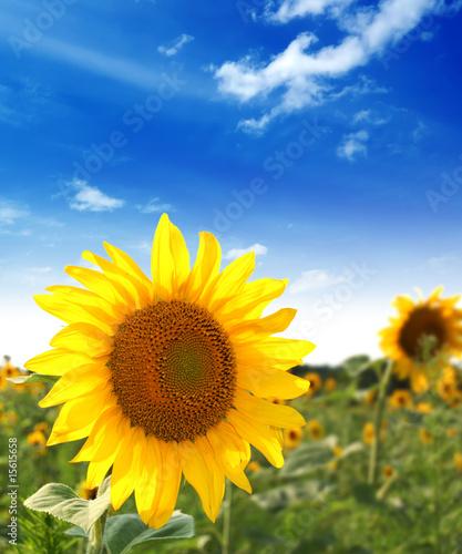 Foto-Lamellen - Sunflower (von R-O-M-A)