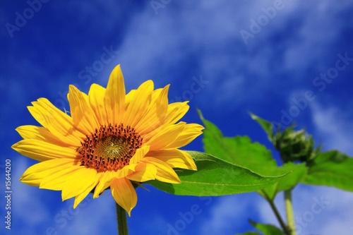 sunflower with sky
