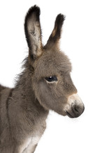Close-up On A Donkey Foal's He...