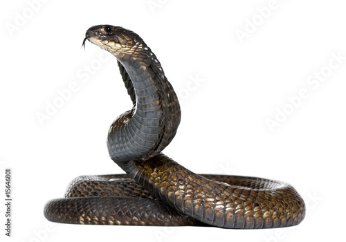 Photo Egyptian cobra - Naja haje