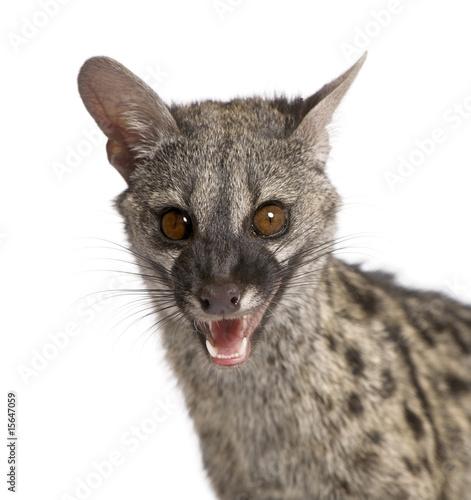 Keuken foto achterwand Kat Common Genet - Genetta genetta