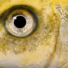 Close-up On The Eye Of A Yellow Fish