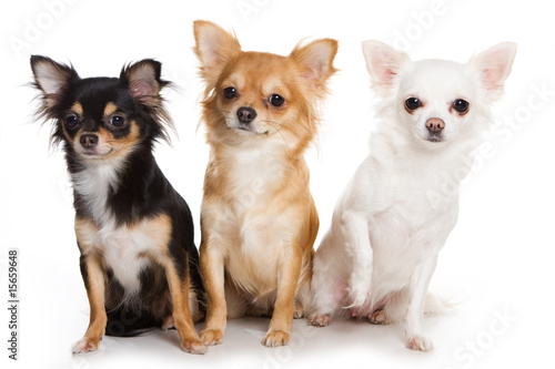 Chihuahua dog on white background Wallpaper Mural