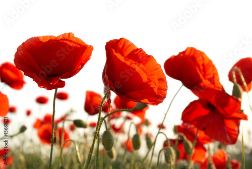 Foto auf Gartenposter Mohn Red poppies