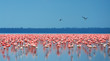 canvas print picture - flocks of flamingo