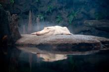 White Gator