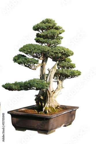 Foto op Canvas Bonsai bonsaï
