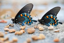 Two Pipevine Swallowtail Butte...