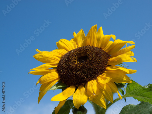 Garden Poster Sunflower very nice sunflower