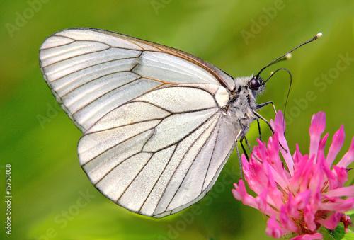 Recess Fitting Butterfly Baumweißling