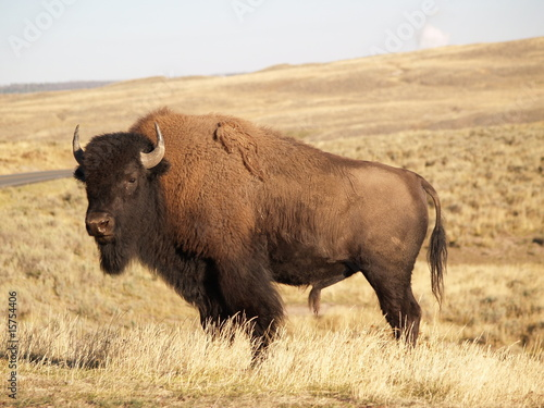 Tuinposter Bison Yellowstone Bison in Fall