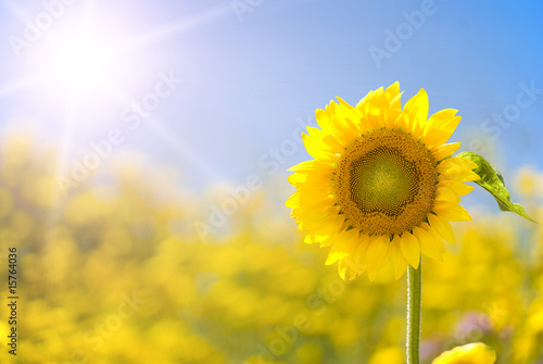 Deurstickers Zonnebloem Sunflower in a sunny yellow field