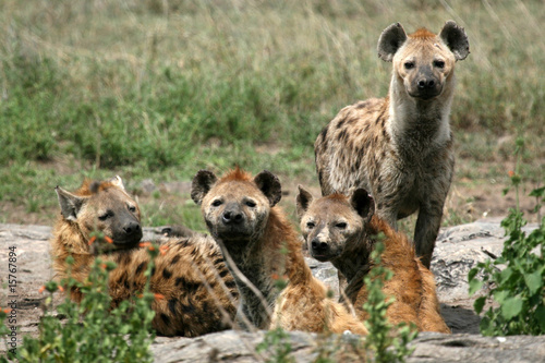 Canvas Prints Hyena Hyena - Serengeti, Africa