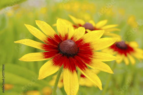 Yellow red chrysanthemum