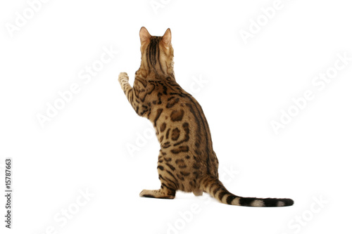 Fotografie, Tablou Bengal cat standing on hind legs